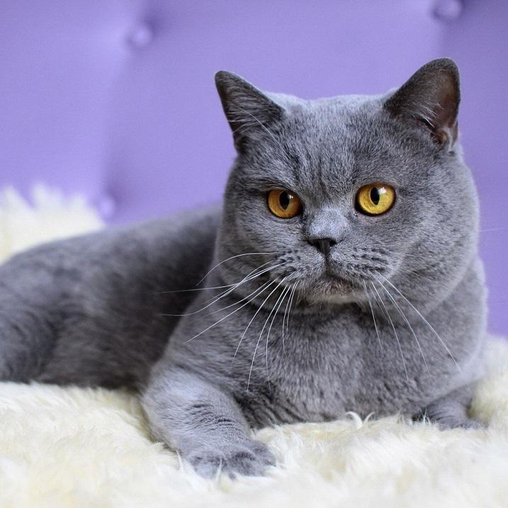 кошка породы британская короткошерстная