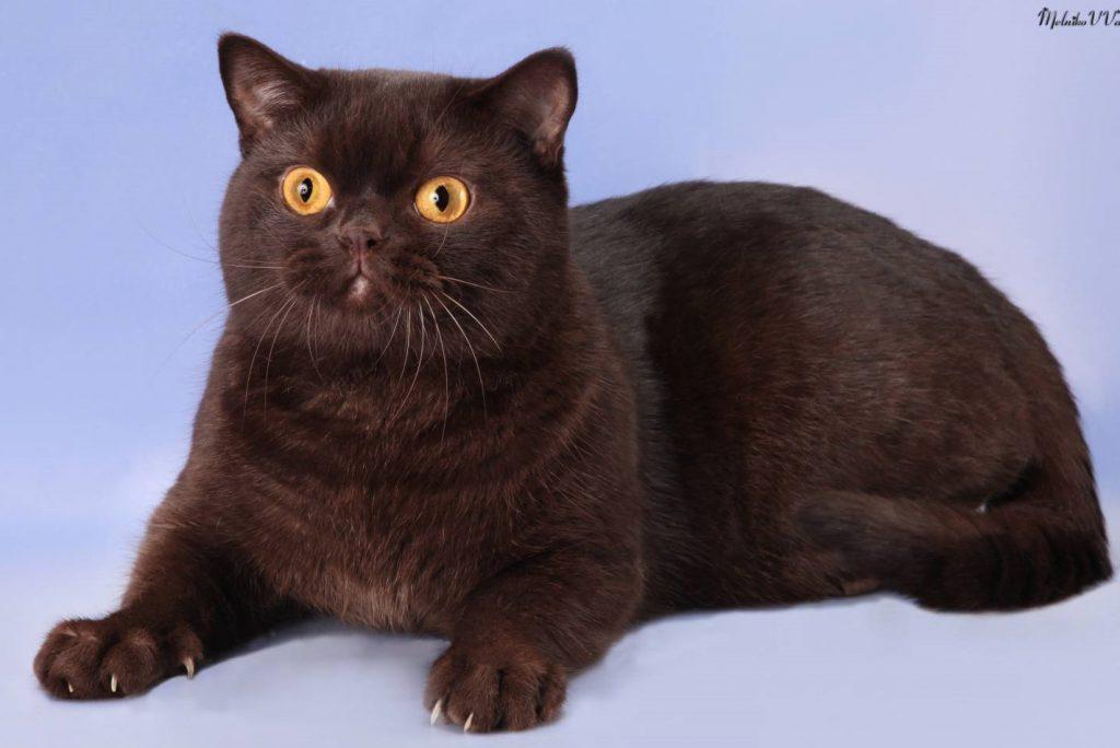 Британская кошка шоколадного окраса