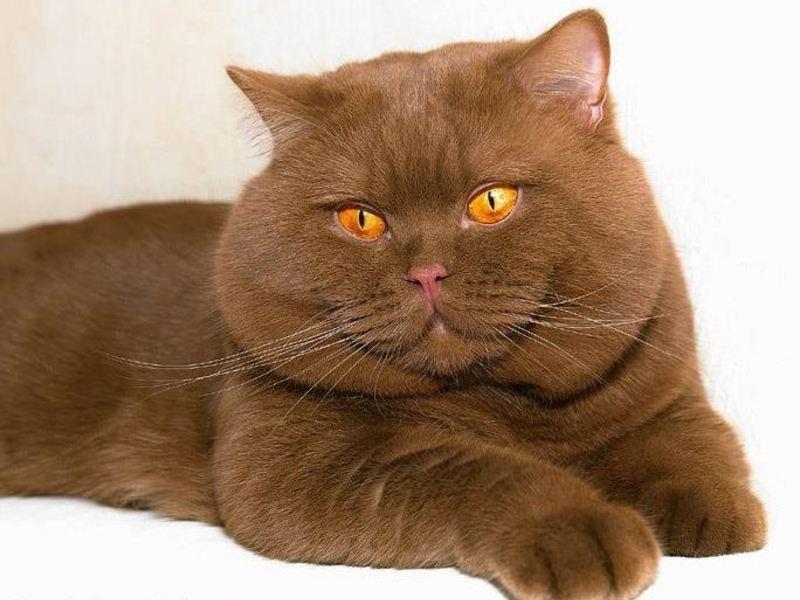 Британский короткошерстный кот цинамон