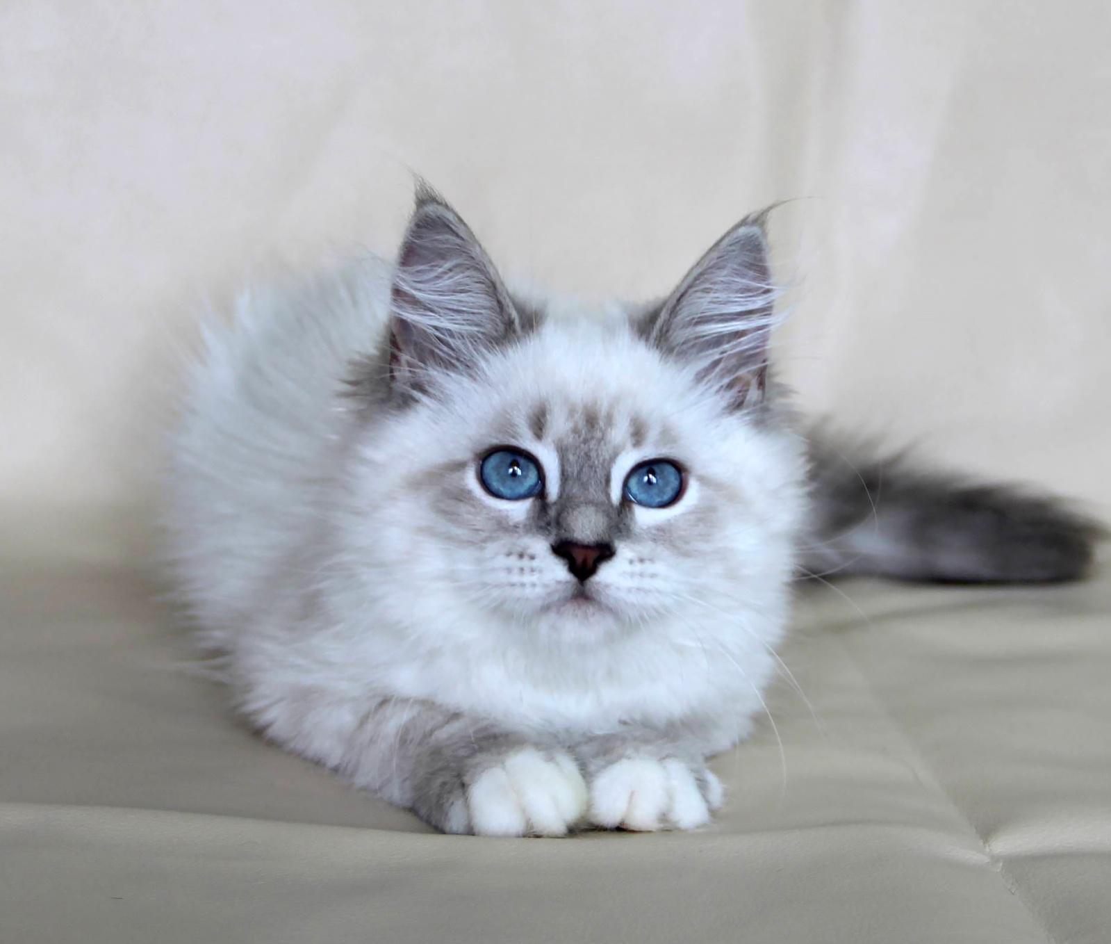Кошка Невская маскарадная