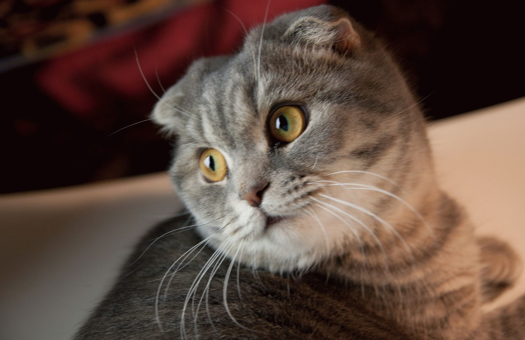 вислоухие шотландские кошки картинки