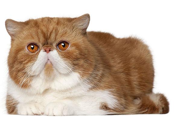 Кошка Экзот