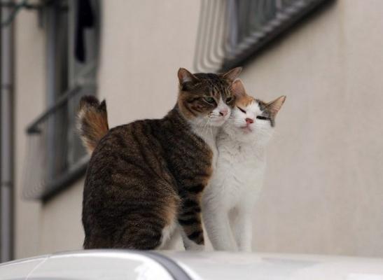 Сколько коты гуляют с кошками