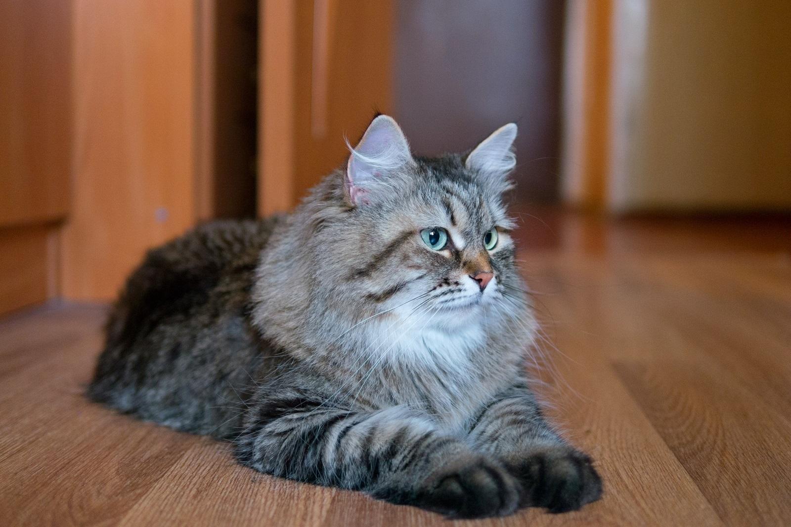 Не метящие породы котов