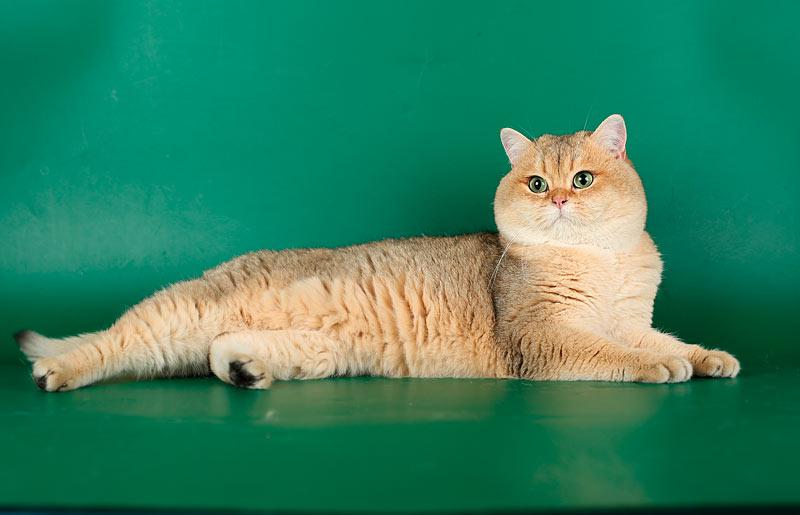 Питомец для тех, кто уважает кошек