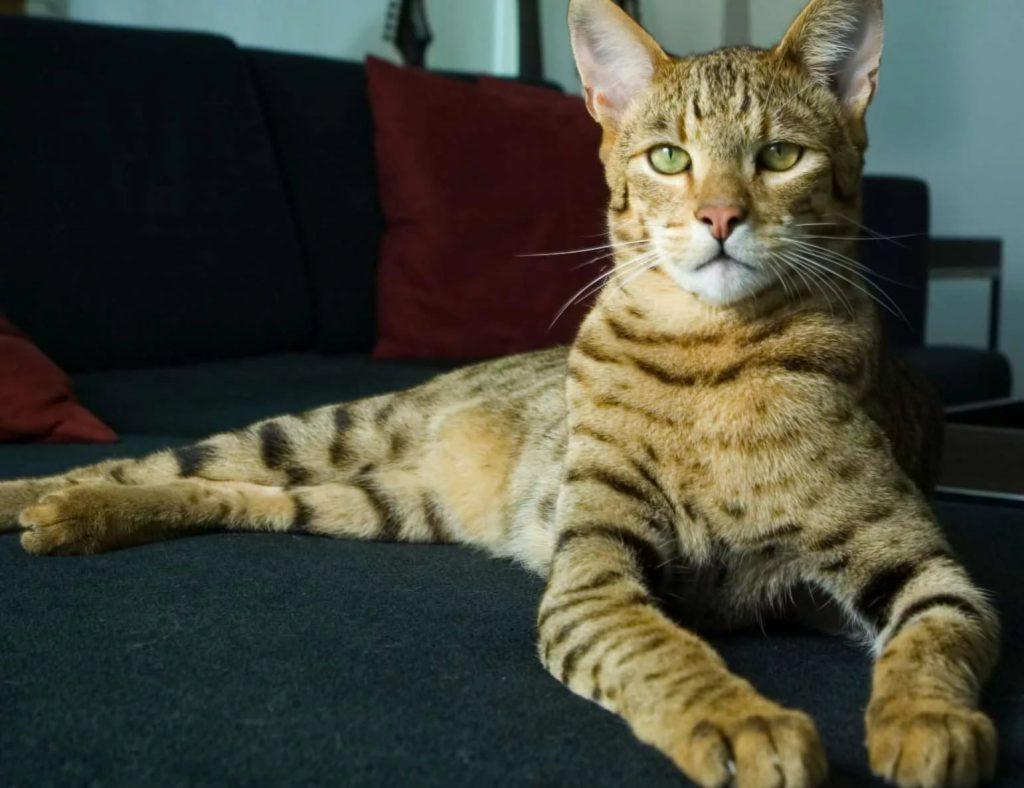 кошка породы ашера