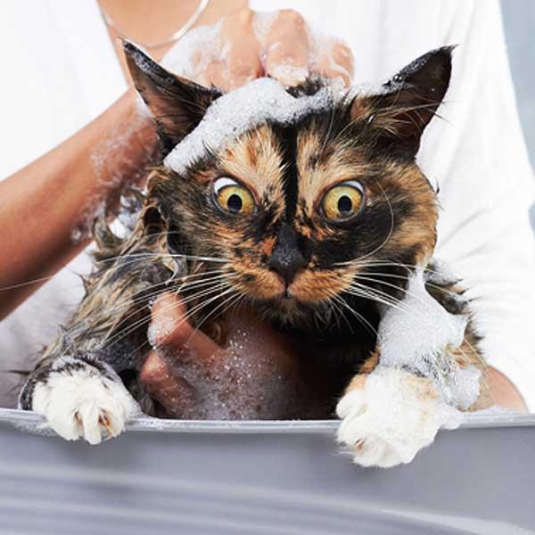 Не купайте кошку слишком часто. Она Вам этого не простит