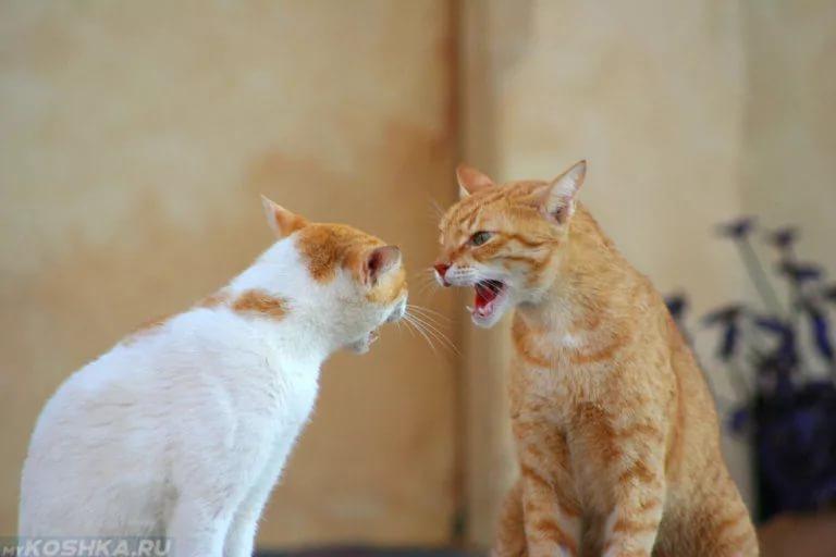 Настроением кошки управляют гормоны
