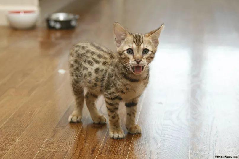 котенок ашеры