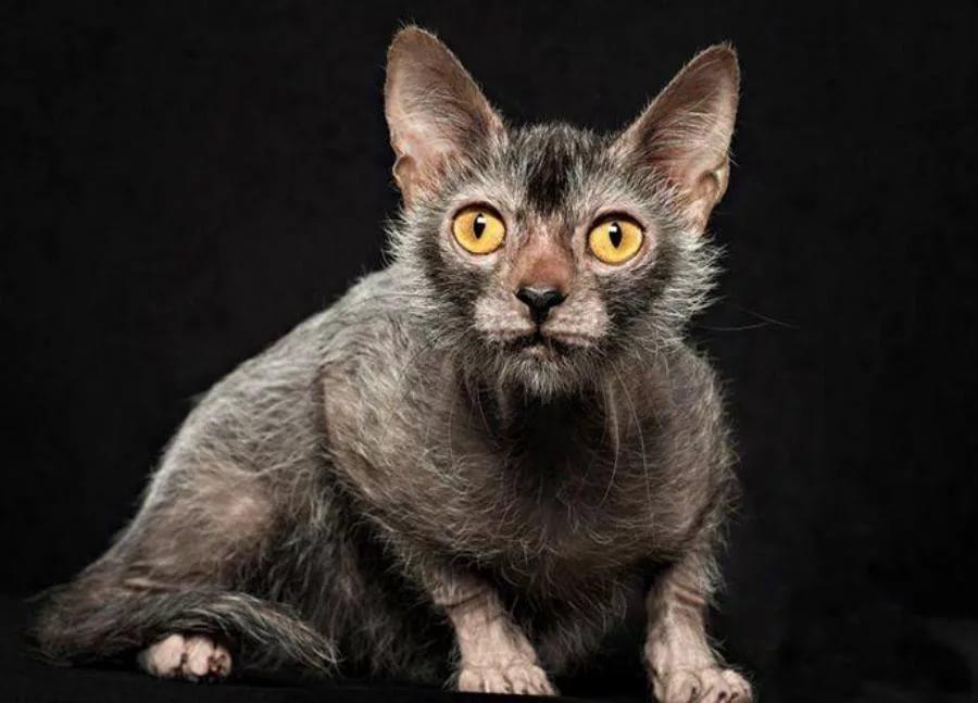 Странный котик для людей с аллергией - ликой