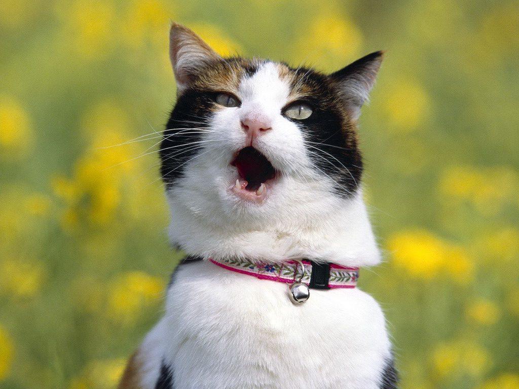 Сколько кошки орут когда хотят кота