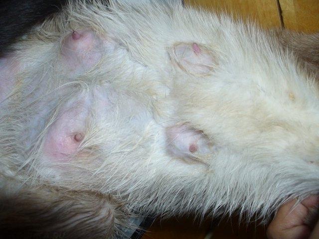Мастит у кошки: лечение в домашних условиях, симптомы, фото
