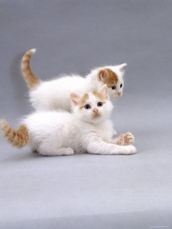 Котята турецкого вана