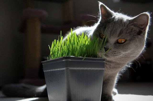 Питание шотландской кошки