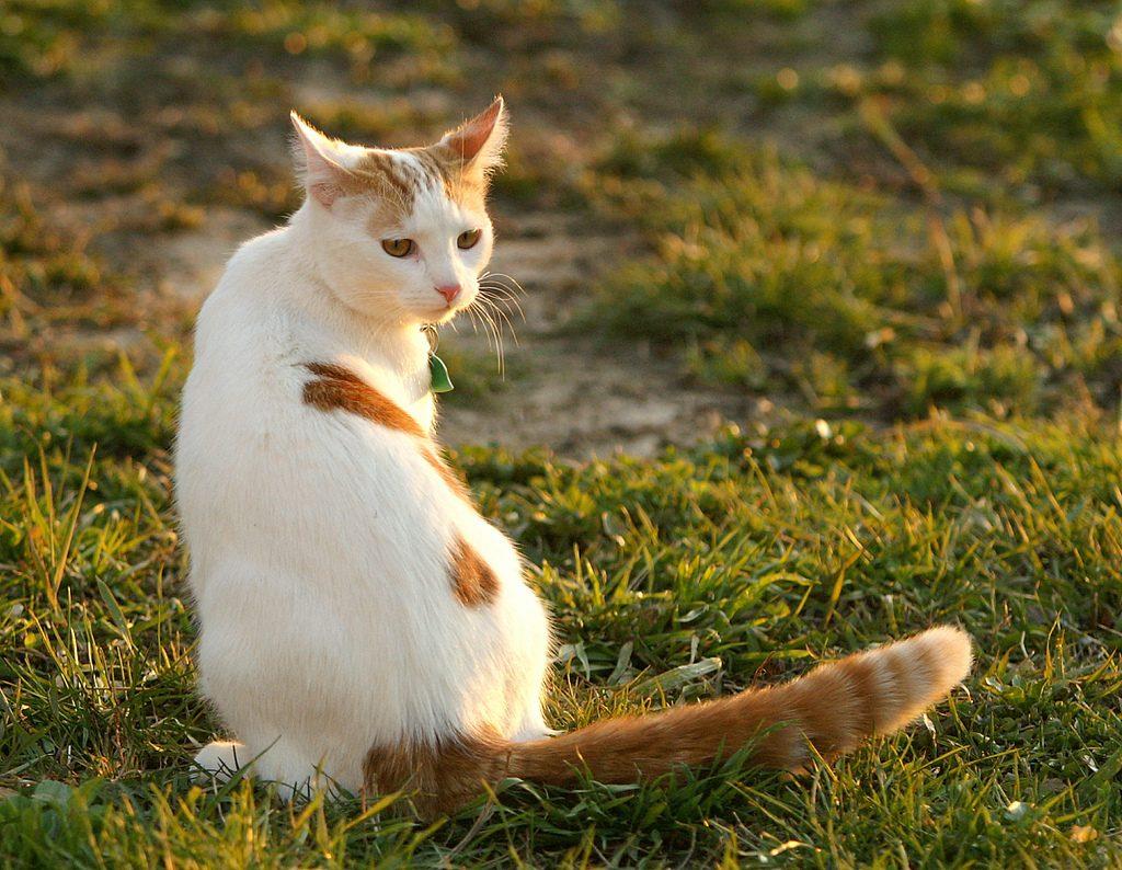 турецкий ван кошка
