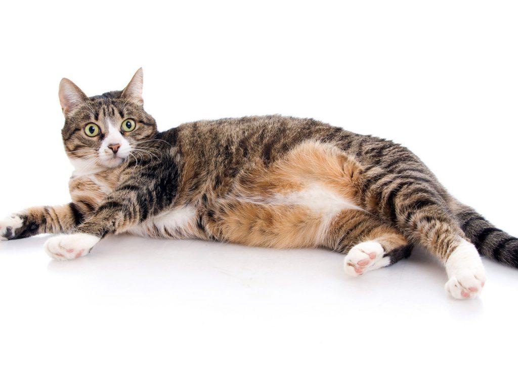 Капли противопоказаны беременным кошкам