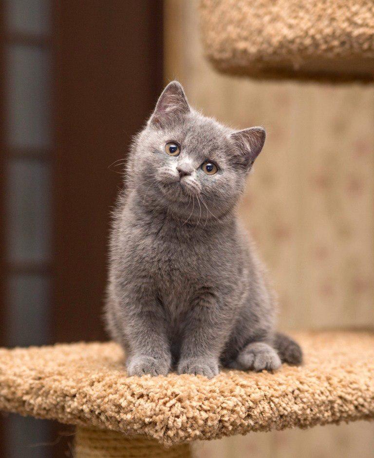британский короткошерстный котенок фото менее, они