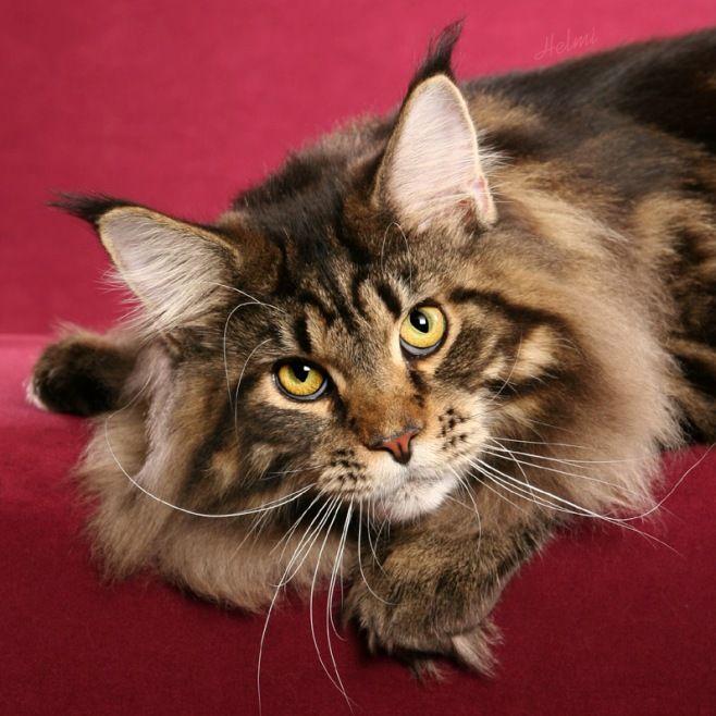 Кот породы Мейнкун