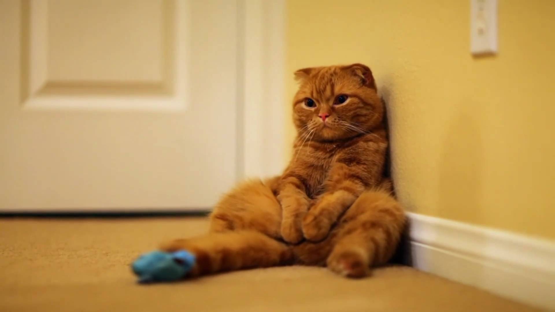 Открытки для, вислоухие коты смешные картинки