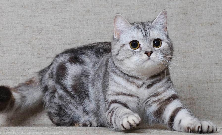 Скотиш страйд: Шотландская прямоухая кошка