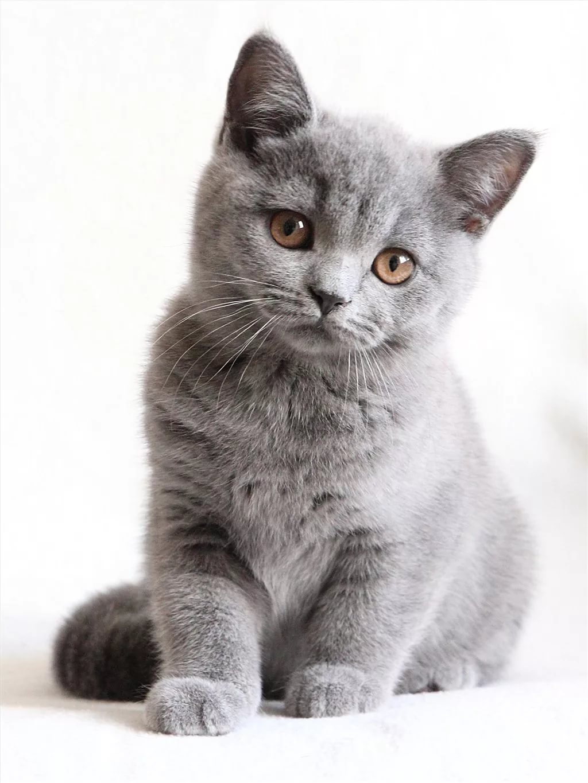 британские котята фото серые знаменито