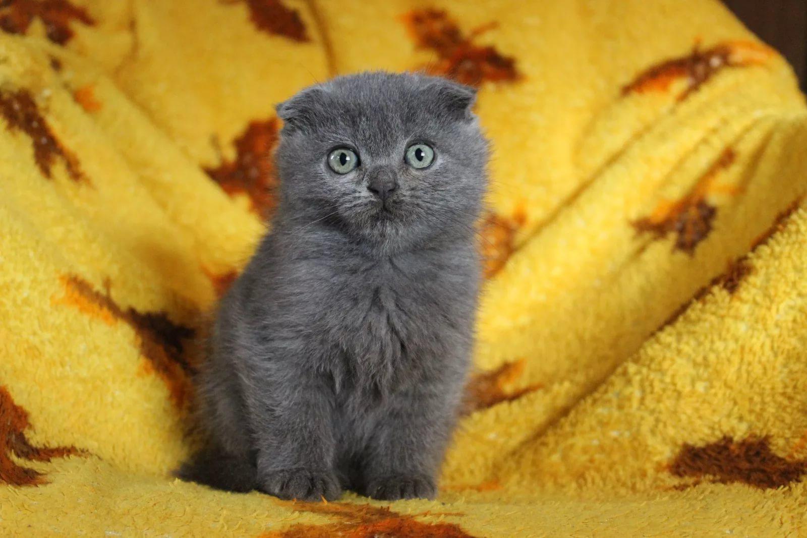 картинки вислоухих котят смотреть нас