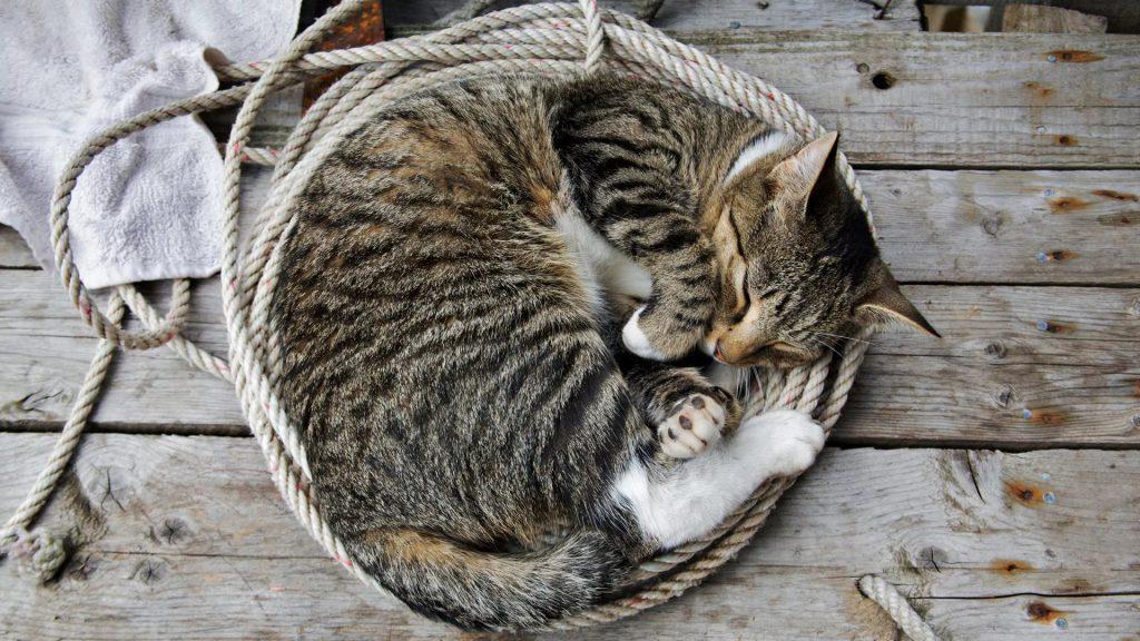 К чему снятся кошки женщине сонник миллера