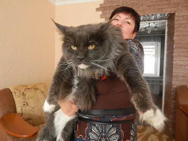 порода кошек мэйкун характеристика