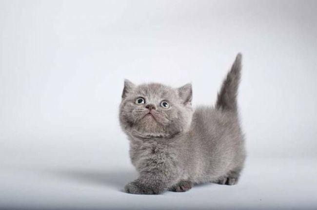 Котенок породы манчкин