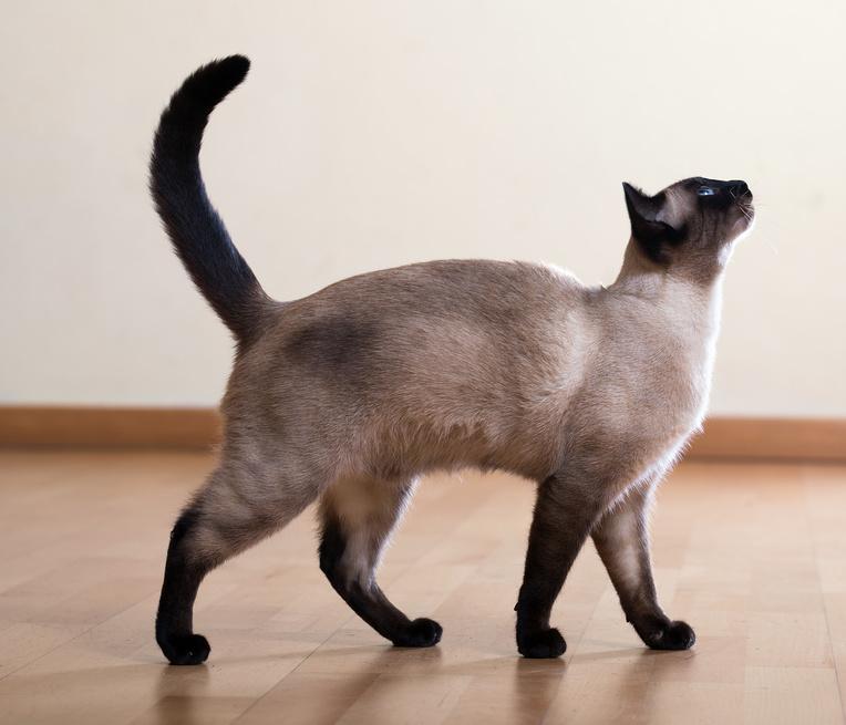 Сиамская кошка стандарт породы