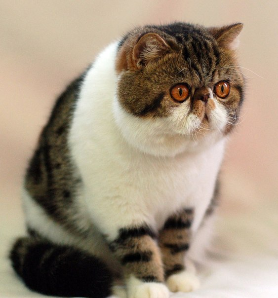 Кот породы экзот