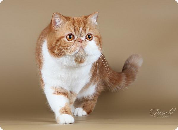 Кот экзотической породы