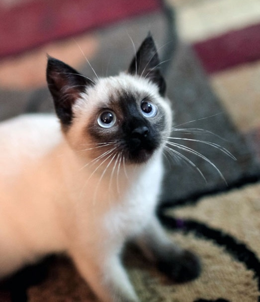 Котенок сиамской кошки
