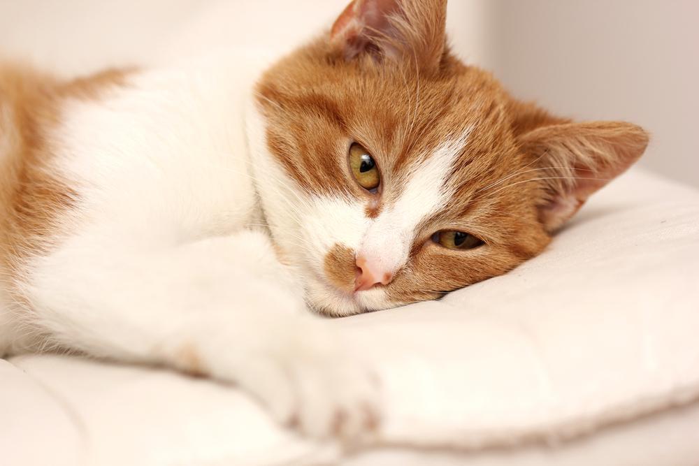 Лечение хпн у котов лекарства схема
