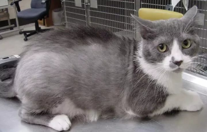 Демодекоз: как избавить кошку от подкожного клеща