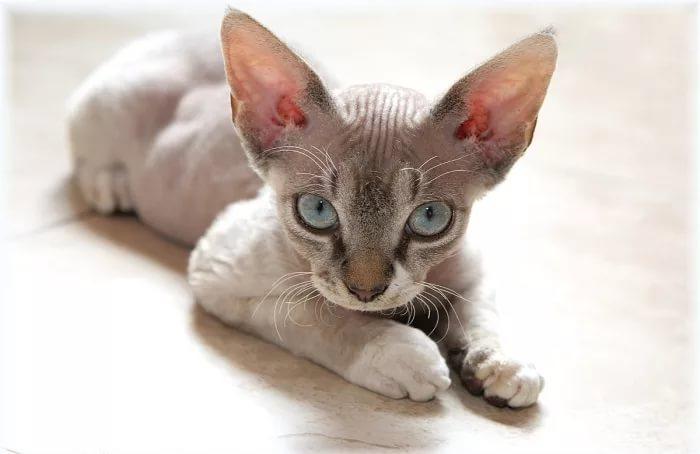бесшерстная порода кошек