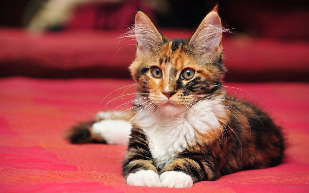 Мейн-кун: большой кот и большая линька