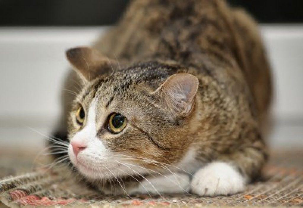 Стресс у кошки - причина выпадения шерсти
