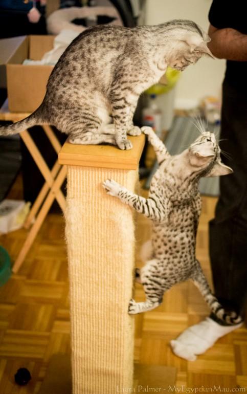 Играют коты египетские мау