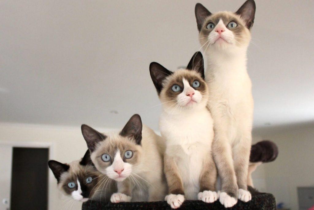 Кошки сноу шу