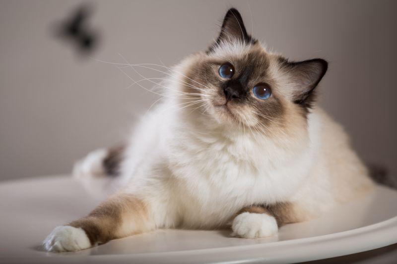 Бирманская порода кошек