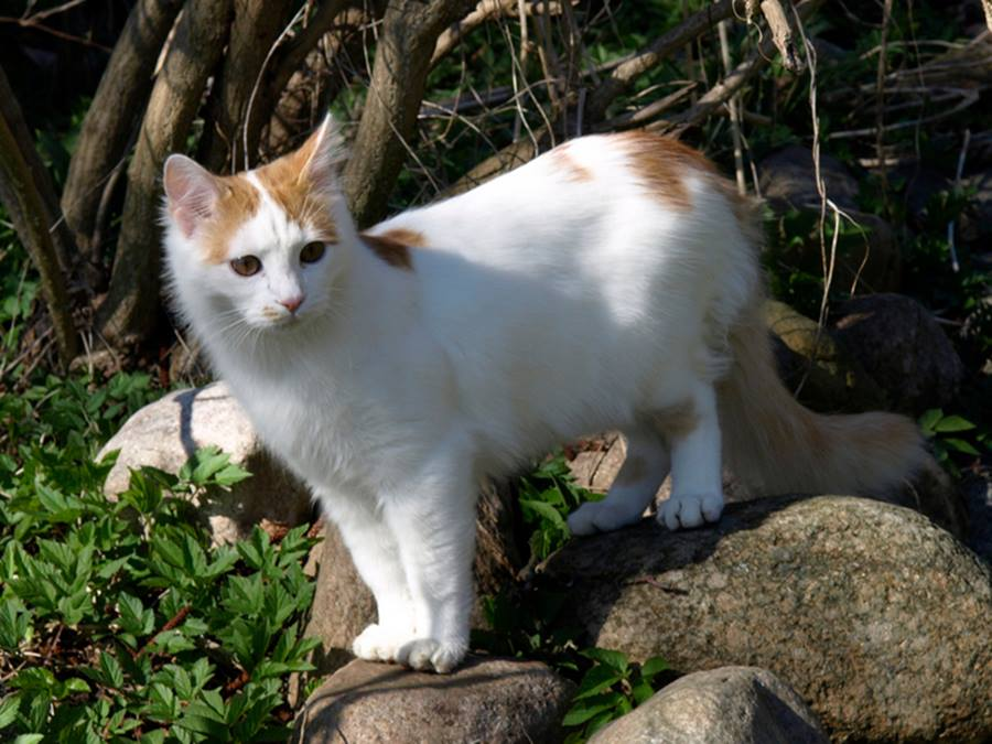 котик породы турецкий ван