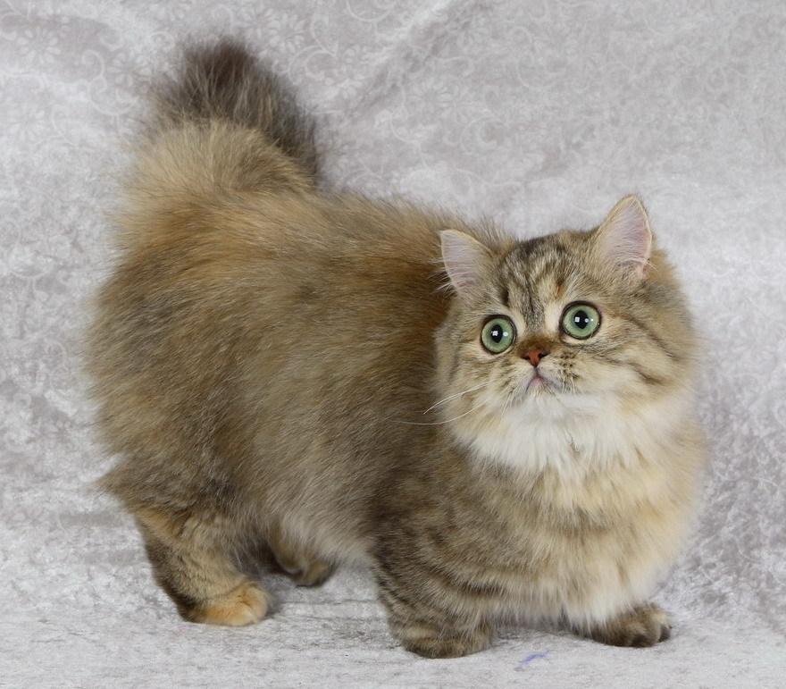 Порода кошек менуэт